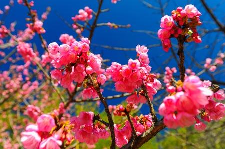 Cereja ou sakura flor bonita no c