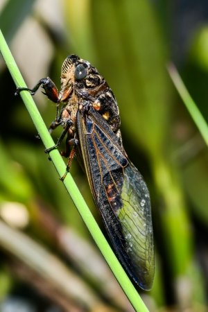 cicada: Cicada on tree close up  Stock Photo