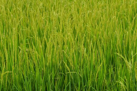 Rice field background landscape  Stock Photo