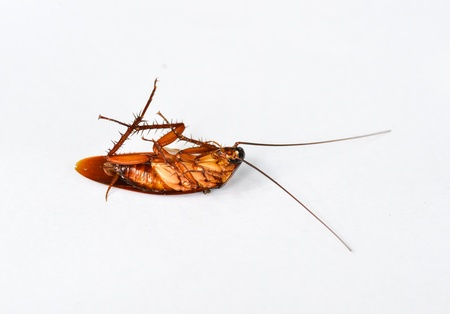 Dead cockroach isolate on white back ground