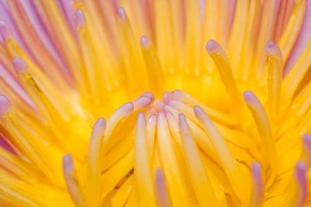 pistil: lotus pistil