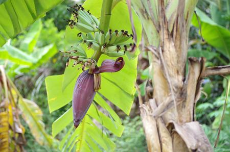 stock agency: banana blossom