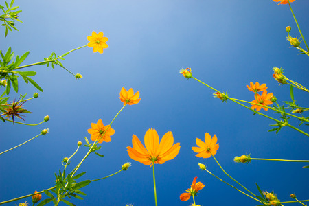 Yellow flowers. Yellow Cosmos with green leaves against the blue sky in Garden. Selective focus. Stock Photo