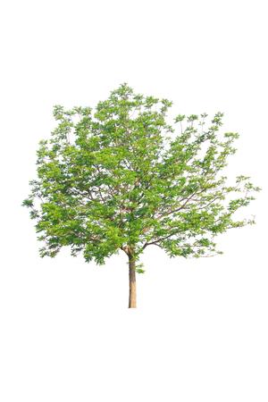 Tree with dense foliage isolated on white background