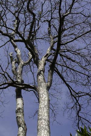 centenarian: Centenarian tree with large trunk