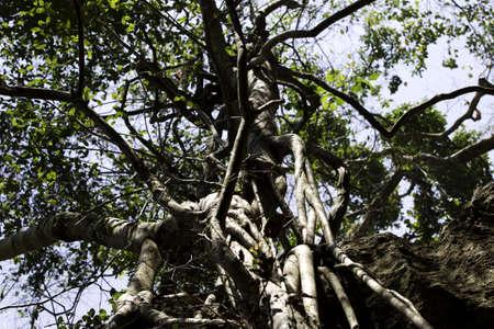 centenarian: �rboles centenarios con gran tronco