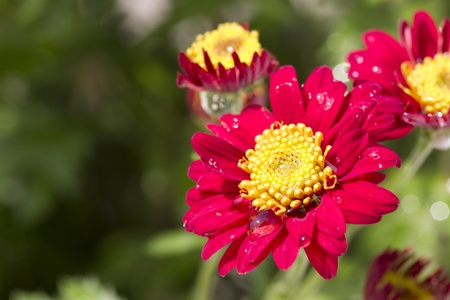 Cheery red flowers with a yellow center are planted in a summer cheery red flowers with a yellow center are planted in a summer garden stock photo mightylinksfo