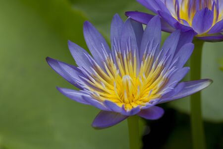 Pure Lotus On The Pond photo