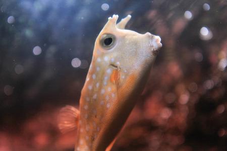 boxfish: Boxfish puffer Stock Photo