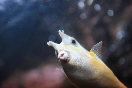 boxfish: puffer Boxfish Stock Photo
