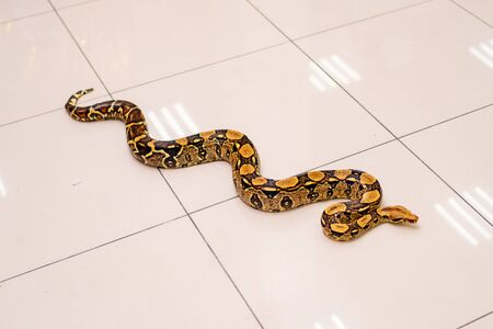 Python snake on the floor of the shiny bright tile. trained animals for the holiday.