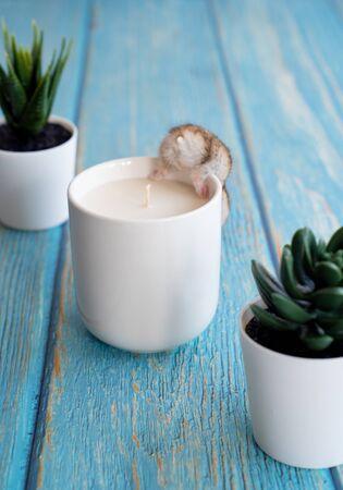 funny Hamster Asian in white interior candle. Blue wooden background. A pet. Stockfoto