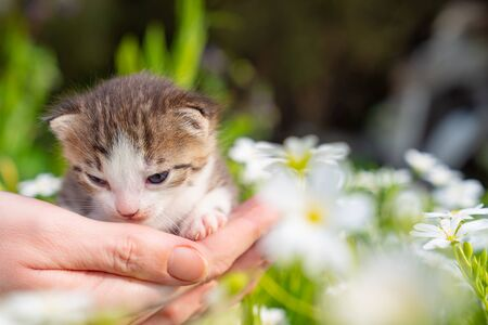 cute newborn kitten meows in hands of a person in flowers. Pets and domesticated animal care.
