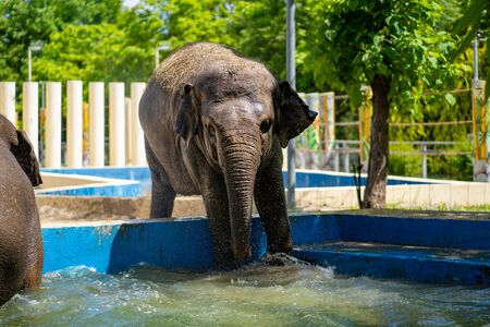 elephant swimming in the pool at the zoo. the observation of wild animals in captivity.