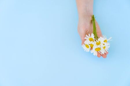 chamomile in hands on blue background. the concept of care of a skin of hands. protection of the environment. natural cosmetics. copy space.