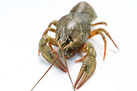 fresh river lobster or crayfish on a white background.