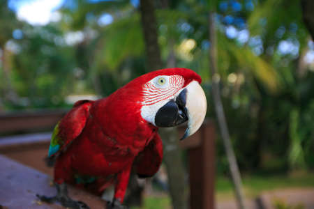 Ara Macao. exotic bird parrot with red feathers.