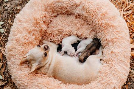 view top. blind multi-colored newborn Chihuahua puppies eat breast milk. breeding purebred dogs. miniature Pets. cute animals.