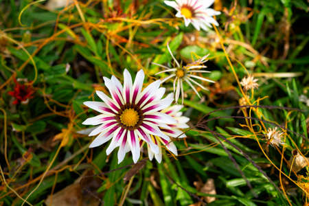 gazania. flower in a flower bed. landscape design of parks in the city. gardening, growing flowers in autumn. Stock fotó