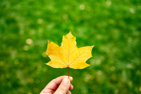 a yellow maple leaf on the green grass of the lawn. autumn leaf fall. change of seasons.
