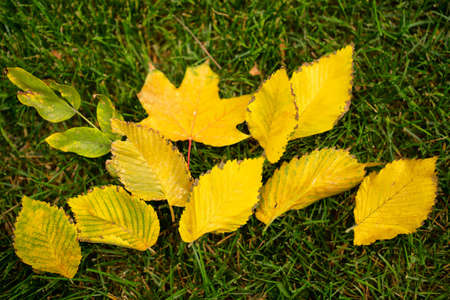 yellow autumn fallen leaves on the green grass lawn. autumn leaf fall. the change of seasons. background.