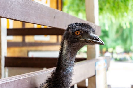 the head of an EMU ostrich peeks through the planks of a wooden fence. visiting bird farms and zoos. exotic animal. Stock fotó