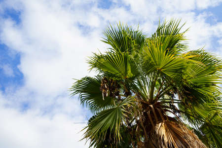 palm tree with dry leaves against the sky. rest and travel. tropics.