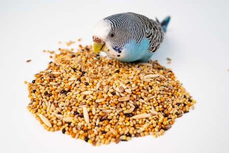 Blue wavy parrot eats bird food on a white background. pet shop.