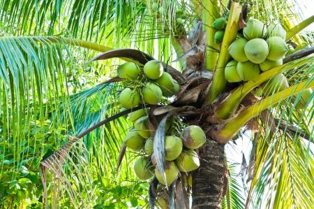 ココナッツの木 写真素材