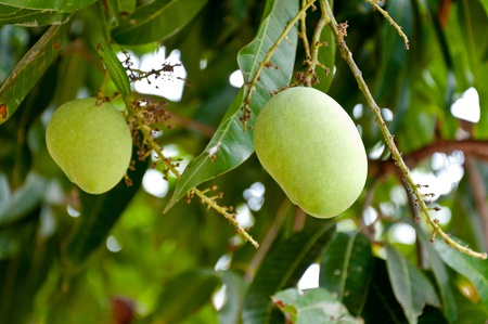 Green mango tree closeup detail photo
