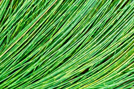 Leaf pine for background Stock Photo - 12999797