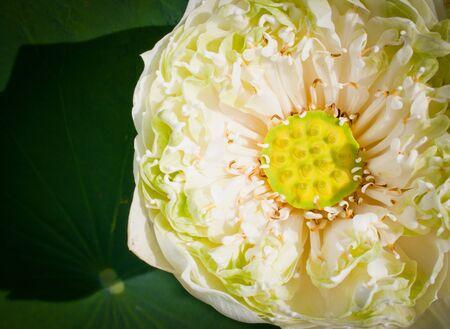 detai: Macro of pollen lotus detai Stock Photo