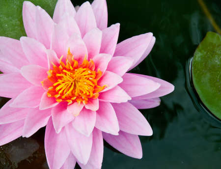Beautiful pink  water lilies in the pond photo