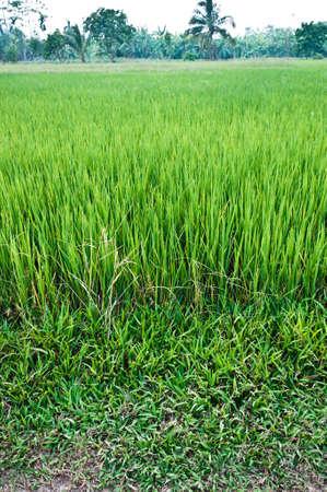 Landscape of green leaf farm rice photo