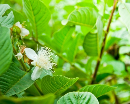 Flower of guava tree in garden
