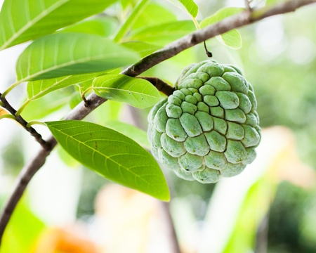 annona: Green custard apple is growing in the garden