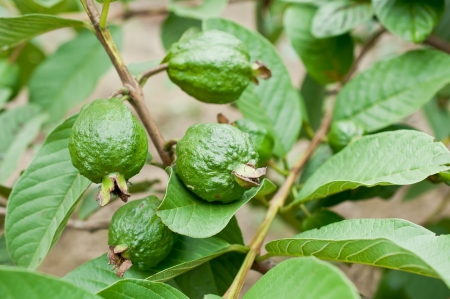 Green guava fruit  in garden