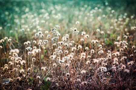 nature photo: Closeup of grass flower vintage color