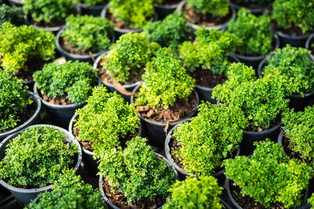 rutaceae: growth of plant in potted closeup,  (Murraya paniculata (L.) Jack, RUTACEAE) Stock Photo