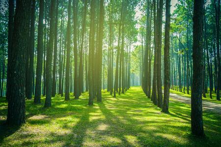 松の木の森林景観