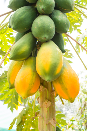 closeup of group papaya fruit in the farm