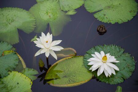 Closeup of white water lily in a pond Banque d'images - 132086686