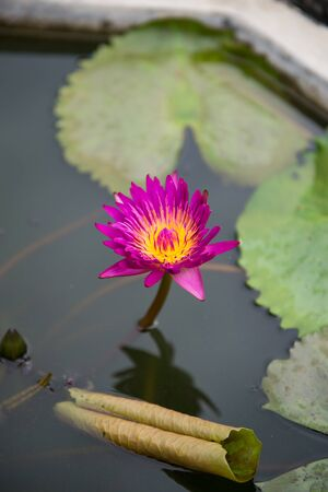 Closeup of red water lily in a pond Banque d'images - 132086729