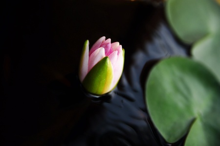 lotus in thailand photo