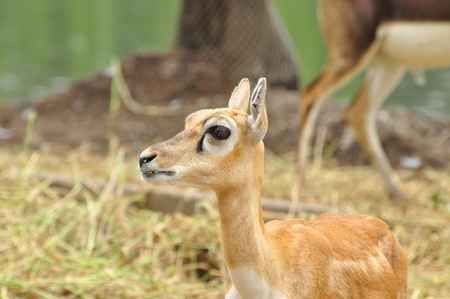 young deer walk in the zoo photo