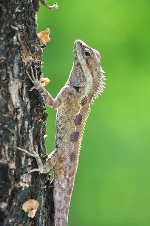 chameleon in thai land photo