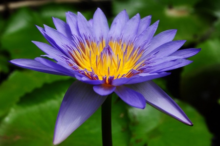 water lily in thailand photo