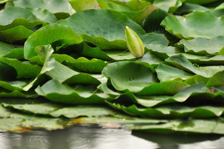 lotus in the garden photo