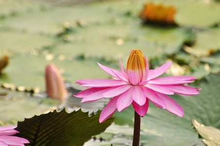 pink lotus in the garden photo