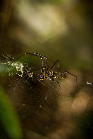 golden orb weaver: Silk spider Stock Photo